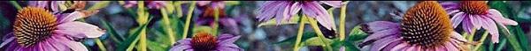 echinacea[1]